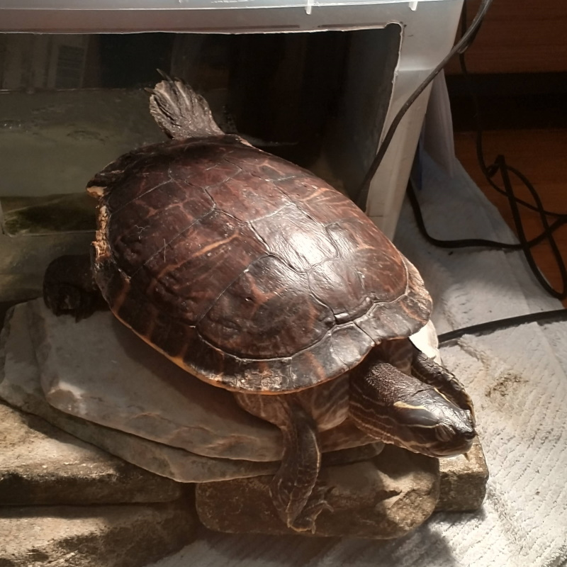 rescue ambassador large cooter turtle sitting on pile of rocks back leg stretched out as if practicing yoga