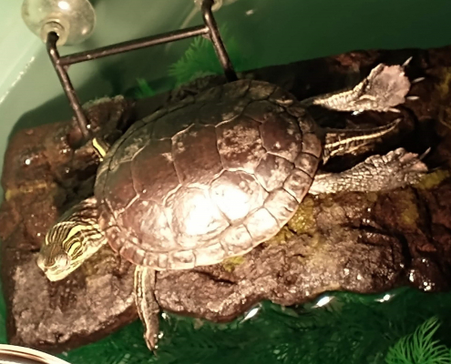 a western painted turtle available to foster