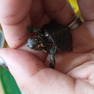 painted turtle hatchling held in hand
