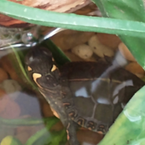 painted turtle hatchling in water under leaves
